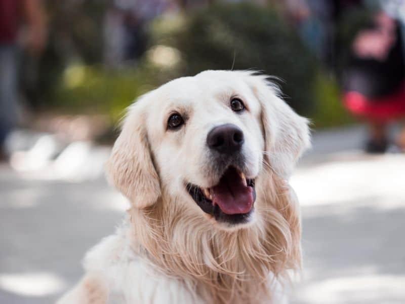 a light colored dog
